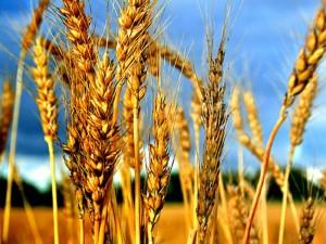 Экспортные цены на пшеницу растут вместе с рублем