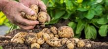 Росконтроль проверил качество российского картофеля
